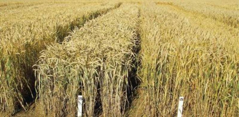 Семена Озимой пшеницы Станичная,Золушка,Лебедь,Девиз.Морозко