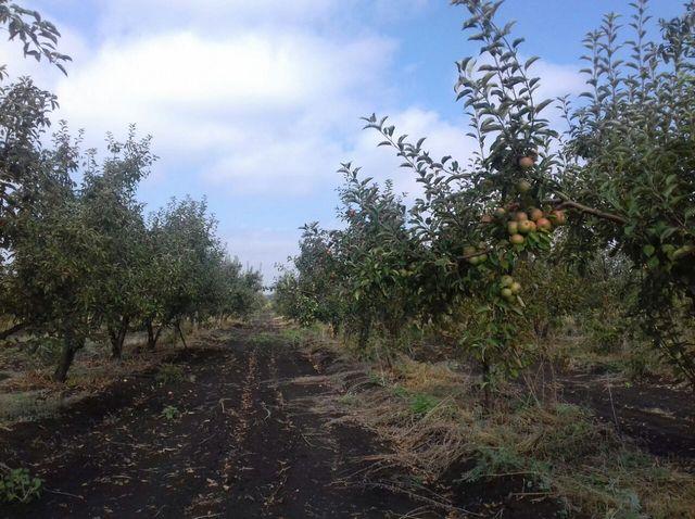 В продаже земельный участок с плодоносящим яблоневым садом на 20 га