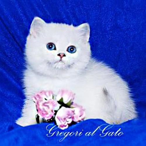 Элитные белоснежные котята британские шиншиллы синеглазки