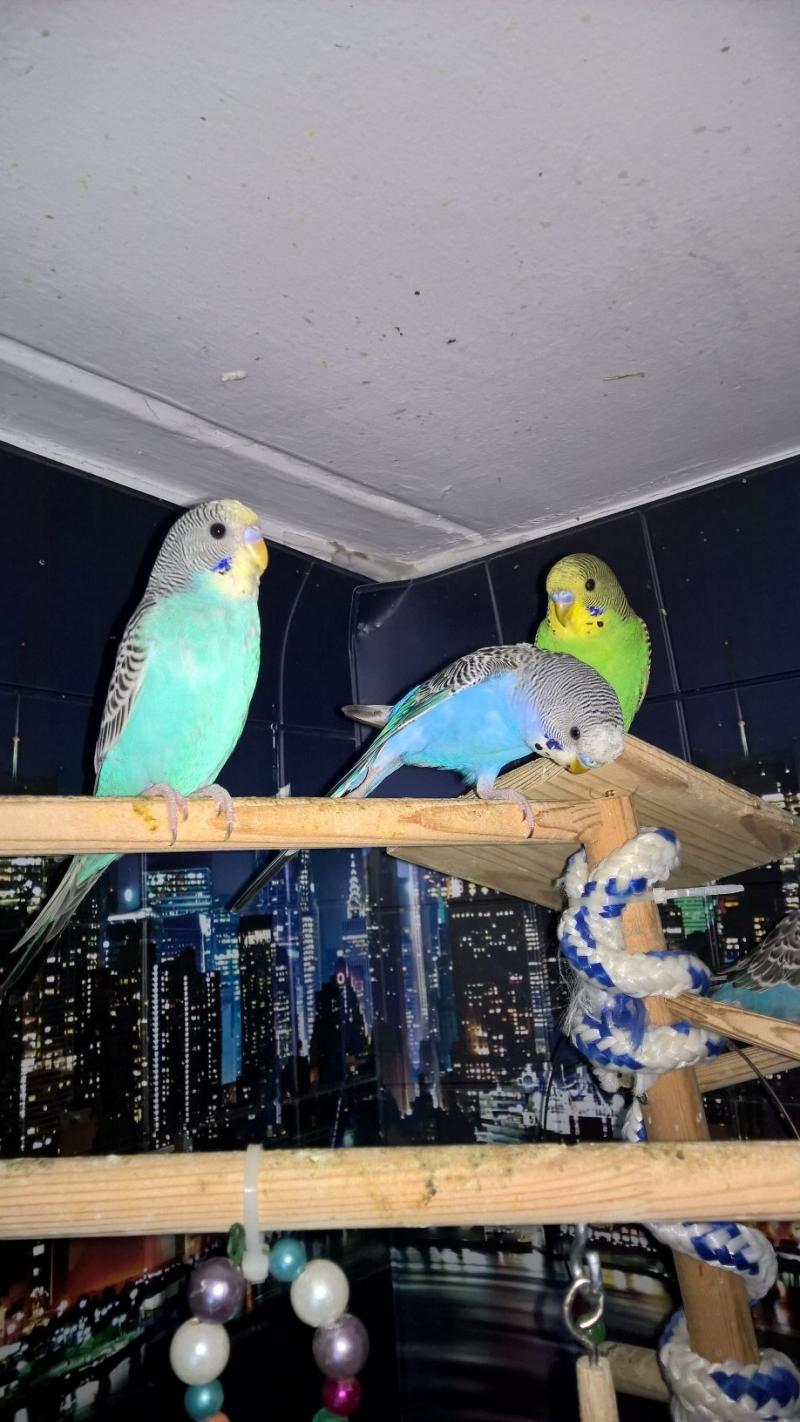 Волнистые попугаи -от Заводчика