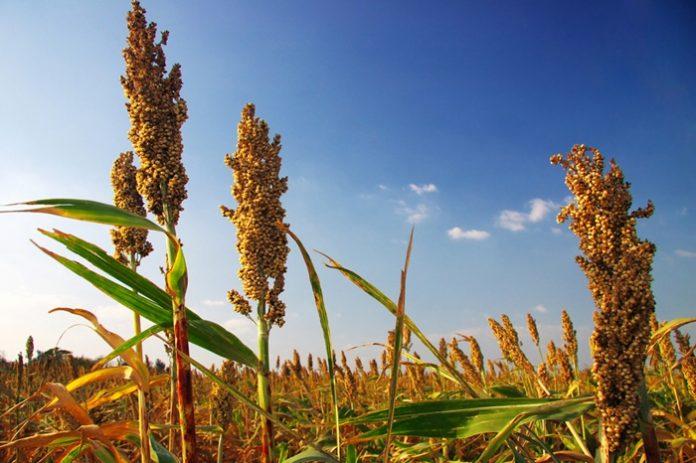 Семена сорго, люцерны, суданки и эспарцета на посевную 2019