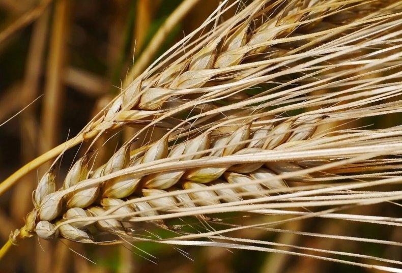 Семена ярового ячменя на посевную 2020