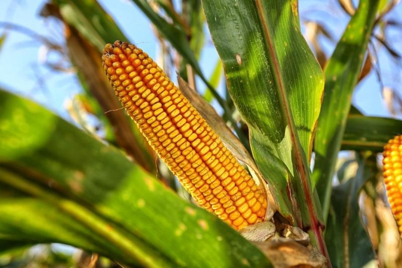 Семена кукурузы Краснодарский 194, Краснодарский 29 и др.