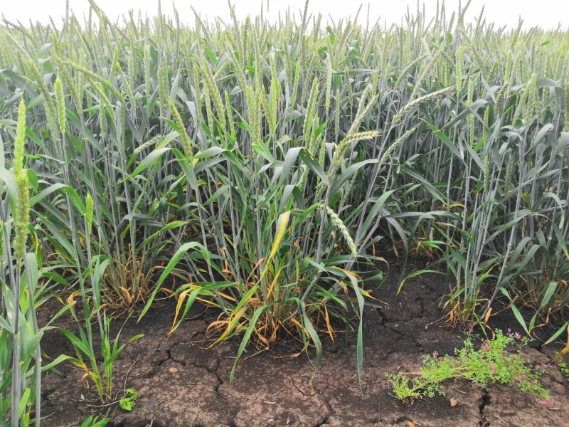 Семена озимой пшеницы, ячменя и тритикале урожая 2020г.