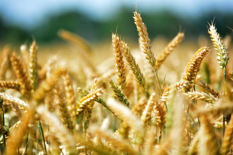 Семена озимой пшеницы Алексеич, Ахмат, Веха, Гром, Сила, Таня и др.