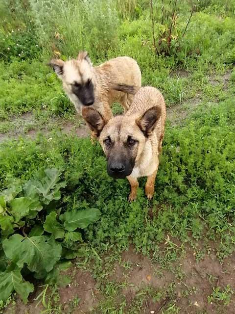 Домашние щенки-подростки Арчи и Зена, метисы малинуа в добрые руки